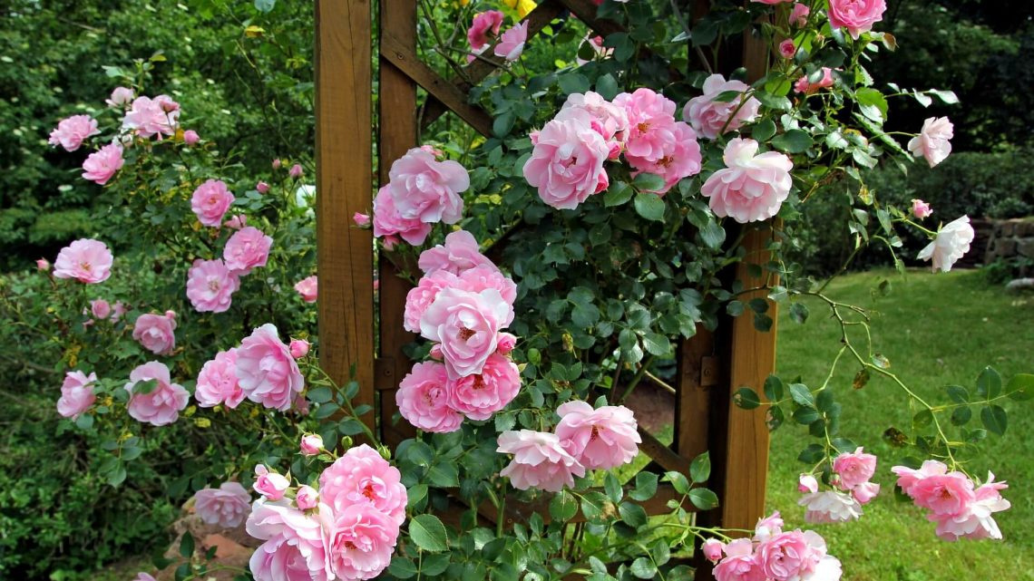 Quand tailler les rosiers remontants?